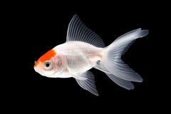 Goldfish swimming Royalty Free Stock Image