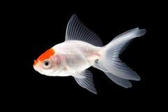 Goldfish swimming. Oranda Goldfish isolated on black background royalty free stock image