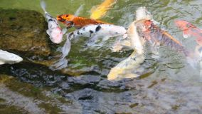 Goldfish swimming in the pood. stock footage