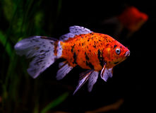 Goldfish swimming underwater Stock Image