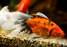 Goldfish swimming underwater Stock Photography