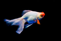 A goldfish. With a tail Royalty Free Stock Photos