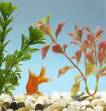 Goldfish in Tank Royalty Free Stock Photos