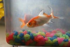 Goldfish in Tank. Little goldfish swimming around royalty free stock photography