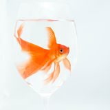 Goldfish Stock Photography