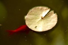 Goldfish undercover. Goldfish under the leaf of a water lily Stock Images