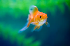 Goldfish underwater Stock Photos