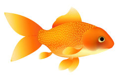 Goldfish. Vector Royalty Free Stock Images