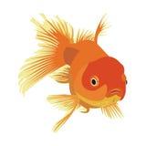 Goldfish. Vector drawn goldfish on a white background Stock Photo