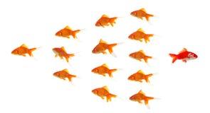 Goldfish vermelho que sae do grupo Imagens de Stock