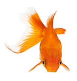 Goldfish view from above Stock Images