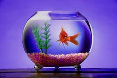 Goldfish vizioso fotografie stock