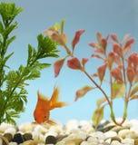 Goldfish w zbiorniku Zdjęcia Royalty Free