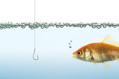 Goldfish watching a hook Royalty Free Stock Images