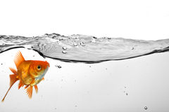 Goldfish in water Stock Image
