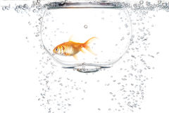Goldfish in the water Royalty Free Stock Images