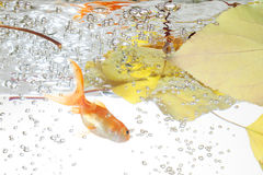 Goldfish in the water Royalty Free Stock Image