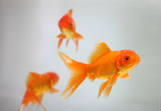 Goldfish Royalty Free Stock Photos