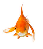 Goldfish on white - front view Stock Photos