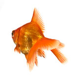 Goldfish on white - view from behind Royalty Free Stock Image