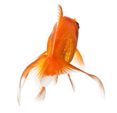 Goldfish on white - view from behind Royalty Free Stock Photo