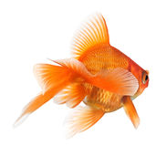 Goldfish on white - view from behind Royalty Free Stock Photography