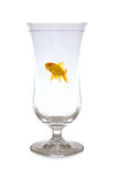 Goldfish wineglass Stock Image