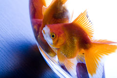 Goldfish & Wish Stock Images