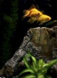 Goldfishes στη δεξαμενή Στοκ Εικόνα