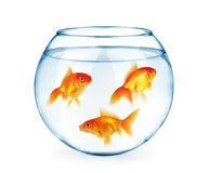 Goldfishes στο ενυδρείο που απομονώνεται στο λευκό Στοκ φωτογραφία με δικαίωμα ελεύθερης χρήσης