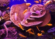Goldfishes Fotografie Stock Libere da Diritti