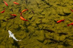 Goldfishes Stock Images