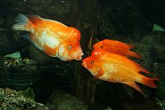 Goldfishes. Come together in aquarium Royalty Free Stock Image