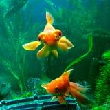goldfishes Fotos de Stock