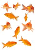 Goldfishes Fotos de Stock Royalty Free