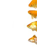 Goldfishes Background Stock Photo