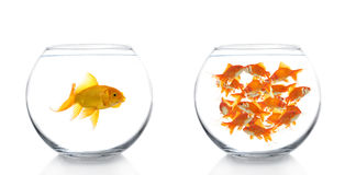 Goldfishes between bowls Royalty Free Stock Photo