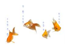 Goldfishes cómodos con las burbujas del agua Imagen de archivo libre de regalías