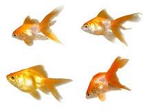 Goldfishes cómodos fijados imagen de archivo