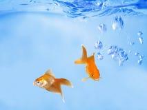 Goldfishes cómodos que hablan bajo ondas Imagen de archivo libre de regalías