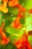 Goldfishes d'oeil de bulle Images libres de droits