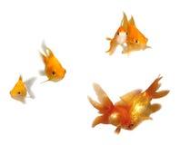 Goldfishes en pares Imágenes de archivo libres de regalías