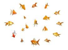 Goldfishes fijados - dirección imágenes de archivo libres de regalías