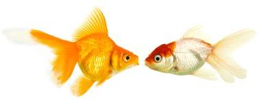 Goldfishes isolati sui goldfis della priorità bassa di bianco Fotografia Stock Libera da Diritti