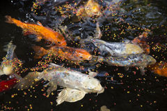 Goldfishes Stock Photo