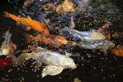 Goldfishes Stock Photo