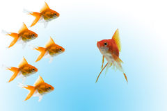 Goldfishes with leader Stock Photography