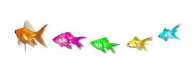Goldfishes Leadership and Diversity Royalty Free Stock Image