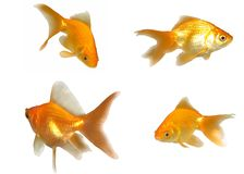 Goldfishes Looking & Swimming Royalty Free Stock Photos
