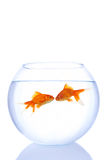 goldfishes in love Stock Photography